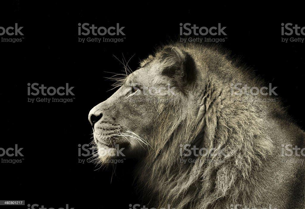 Male Lion Profile stock photo
