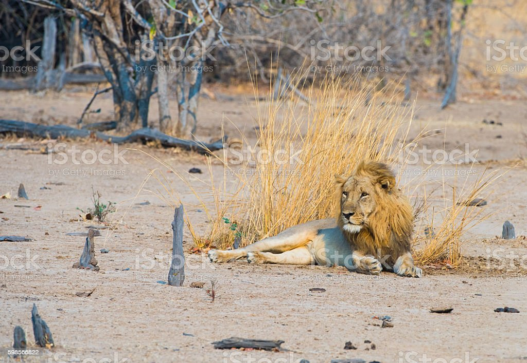 Male Lion resting in early evening royalty-free stock photo
