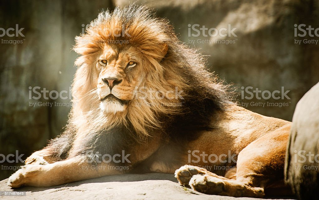 Male Lion resting on a rock stock photo