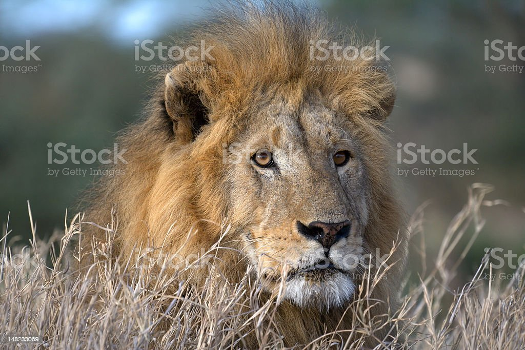 Male lion resting royalty-free stock photo