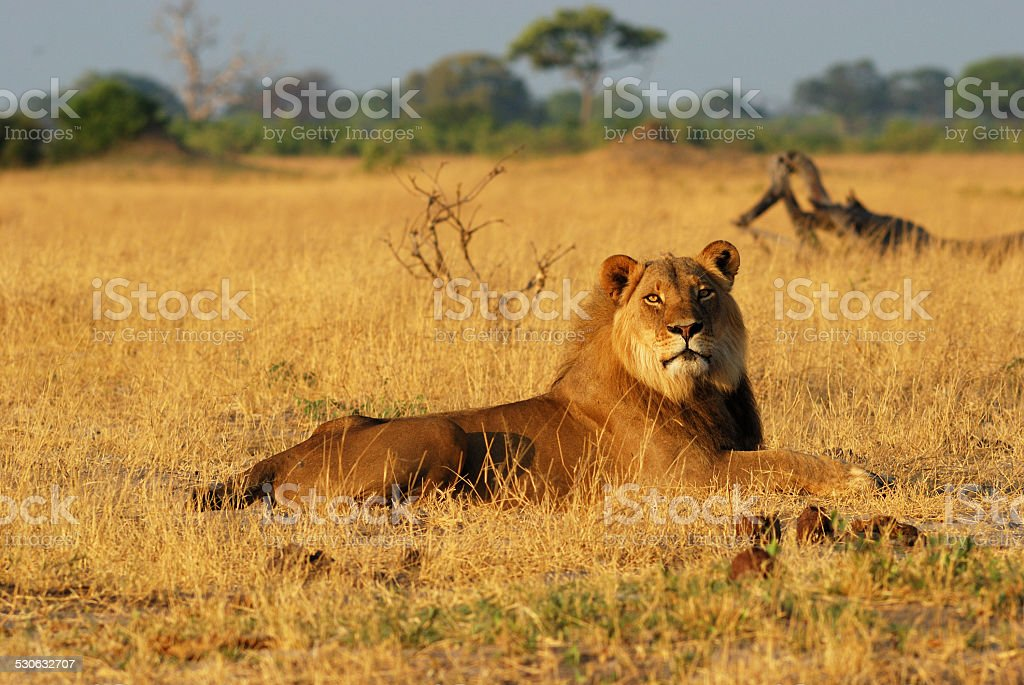 Male lion resting stock photo