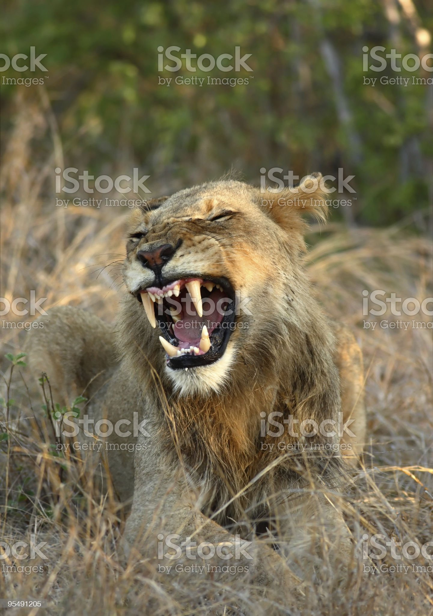 Male lion roar royalty-free stock photo