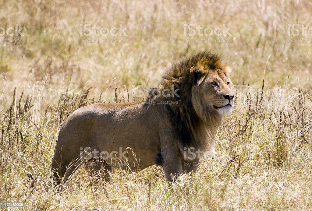 Male Lion side profile in summer grass royalty-free stock photo