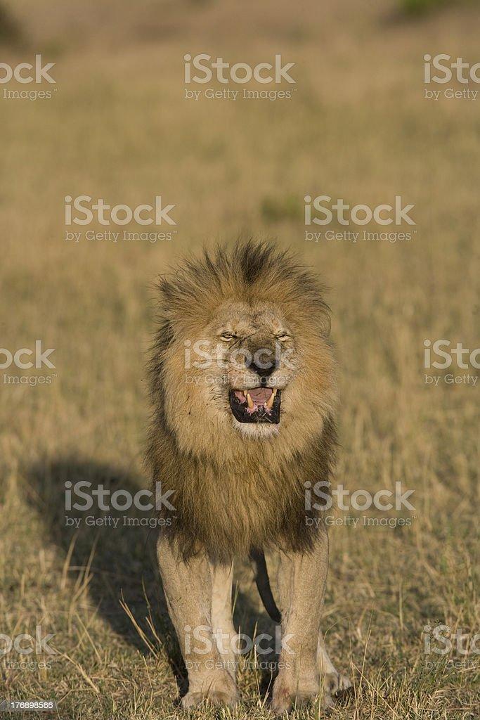 Male Lion sentir l'emplacement de la pride photo libre de droits