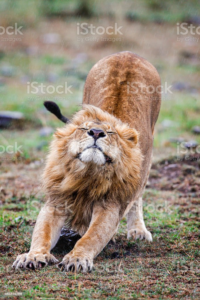 Male lion stretching in the grass, Kenya stock photo