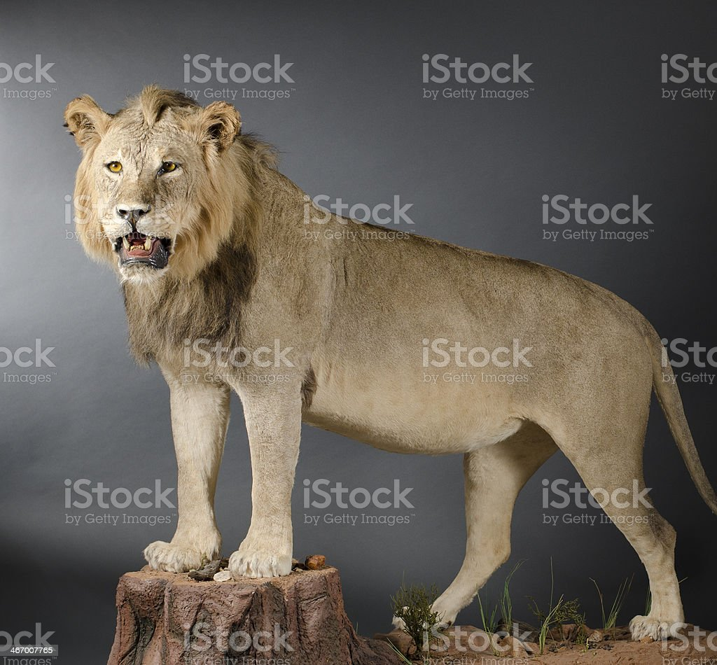 Male Lion Taxidermy stock photo