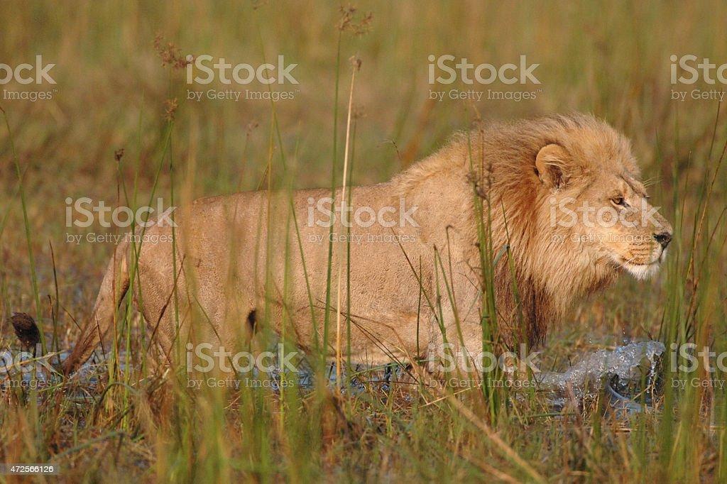 Male Lion walking in water hunting buffalo stock photo