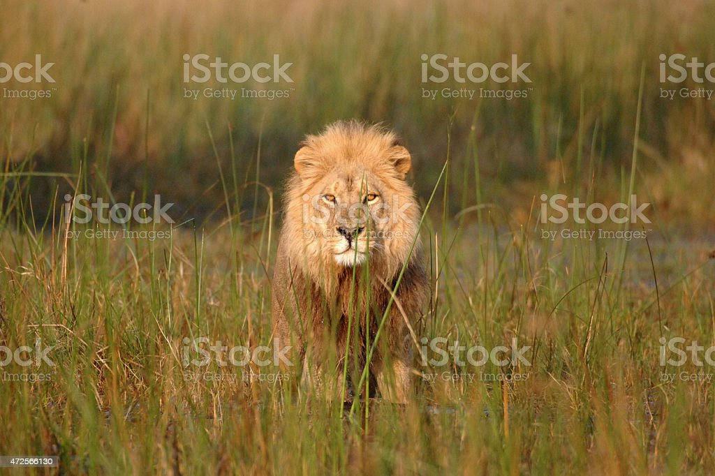Male Lion walking in water looking directly at viewer stock photo