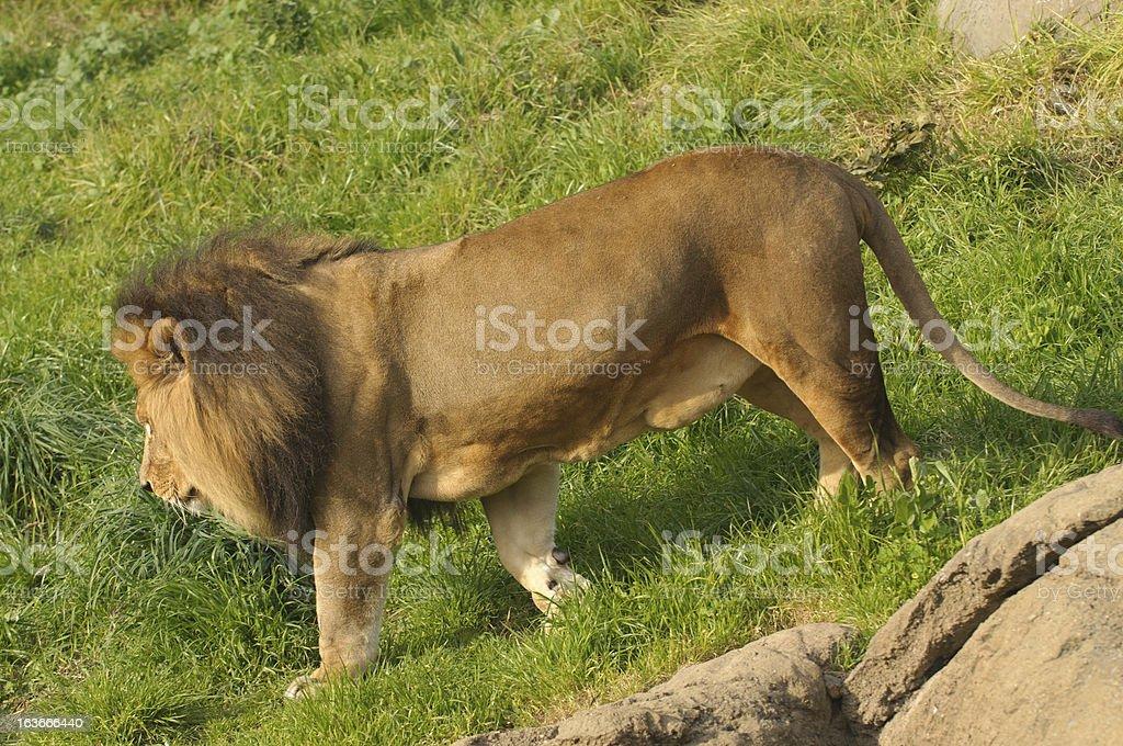 male lion walking stock photo