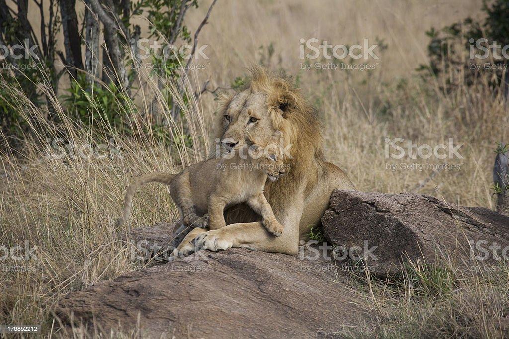 Lion mâle avec cub du Masaï Mara photo libre de droits