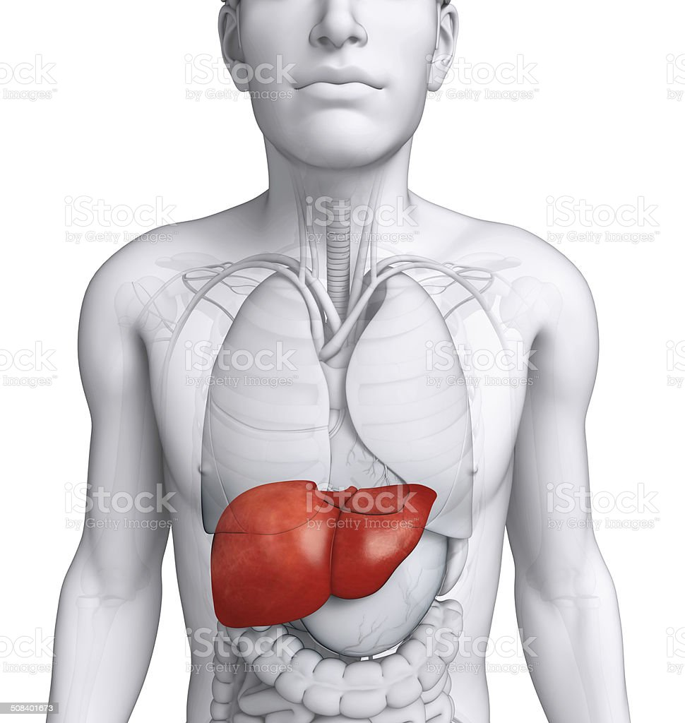 Male liver anatomy stock photo