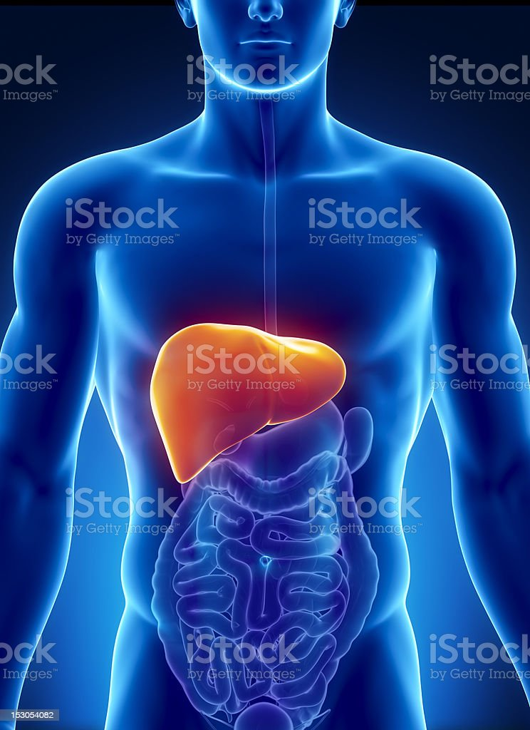 Male liver anatomy with digestive organs stock photo