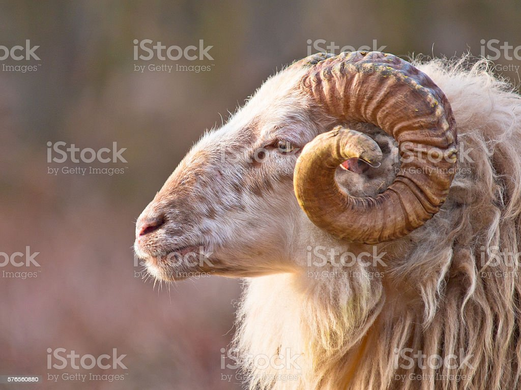 Male long-tailed sheep stock photo