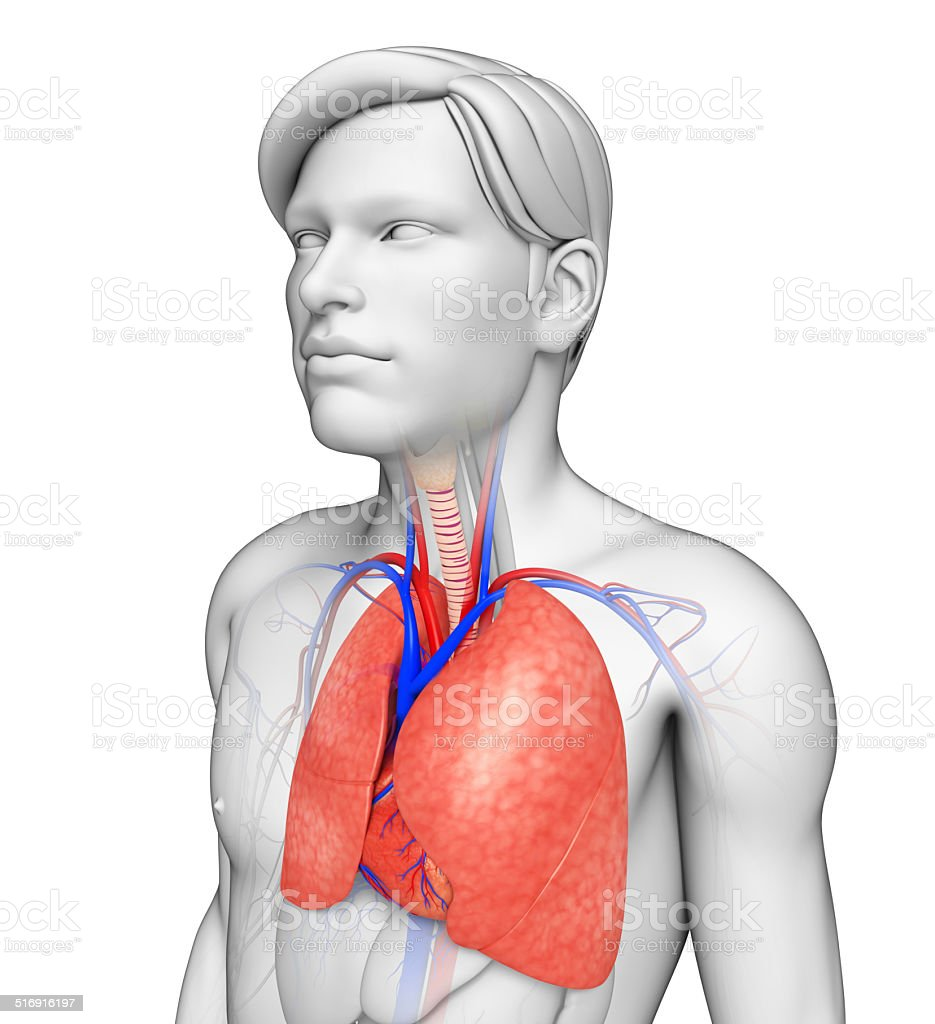 Male lungs anatomy stock photo
