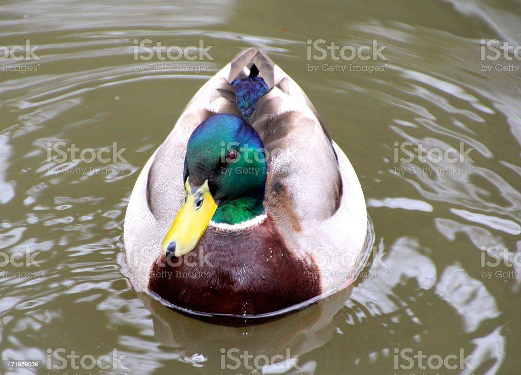 Male Mallard duck on water stock photo