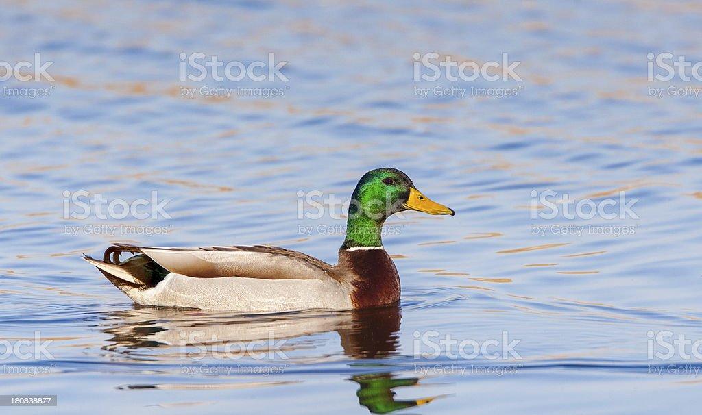 Male Mallard Duck stock photo