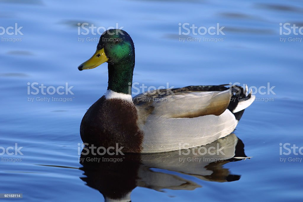 male Mallard Duck royalty-free stock photo