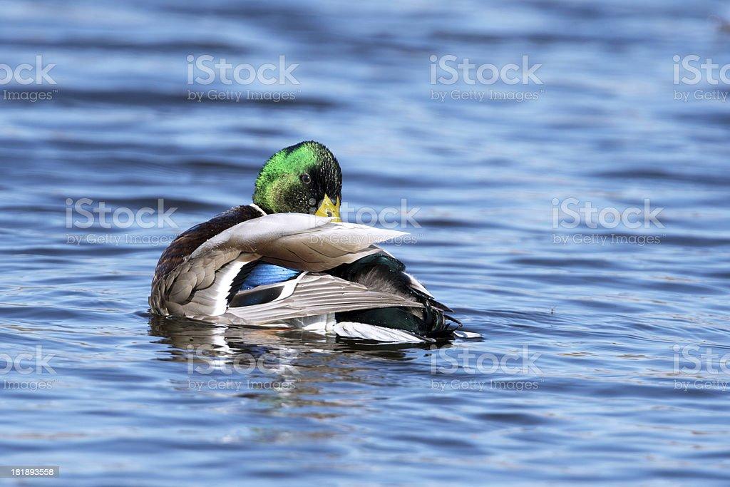 Male Mallard duck preening royalty-free stock photo