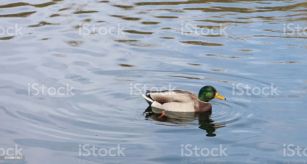 Male Mallard Duck Swimming in a Pond with Rippled Water stock photo