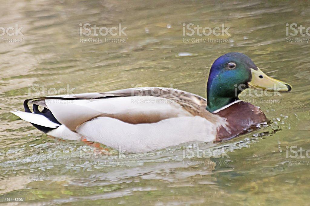 Male Mallard on Water. stock photo