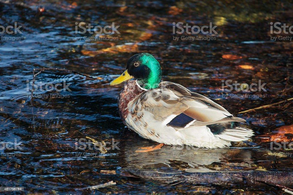 Male Mallard or Wild Duck stock photo