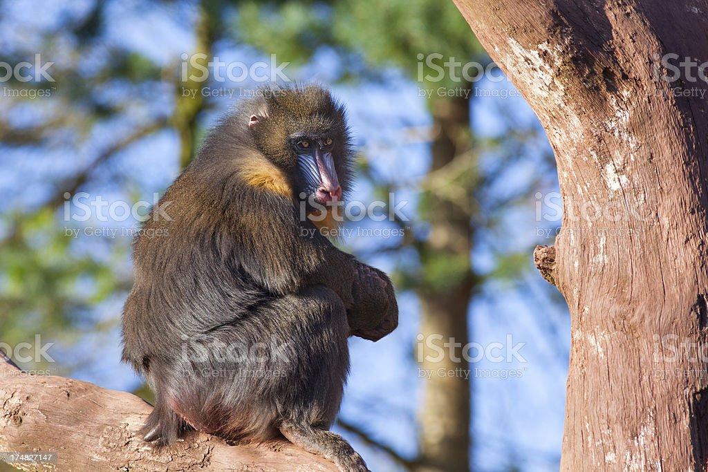 Male Mandrill Monkey (Mandrillus sphinx). stock photo