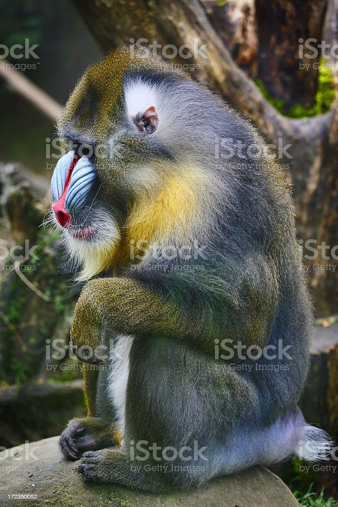 Male Mandrill stock photo