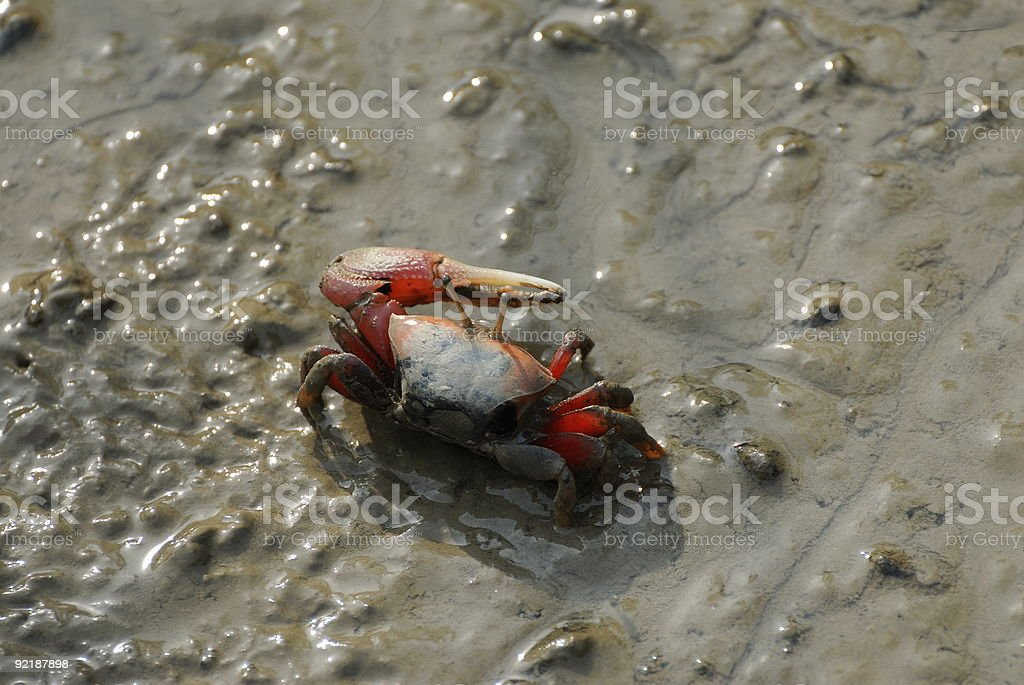 Male Mangrove crab stock photo