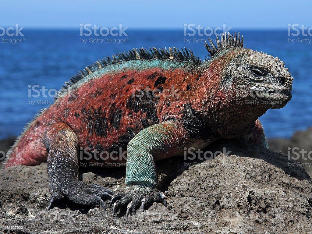 Male Marine Iguana (Amblyrhynchus cristatus) stock photo