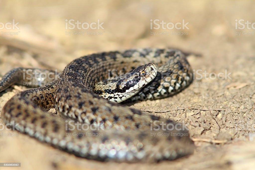male meadow viper in situ stock photo