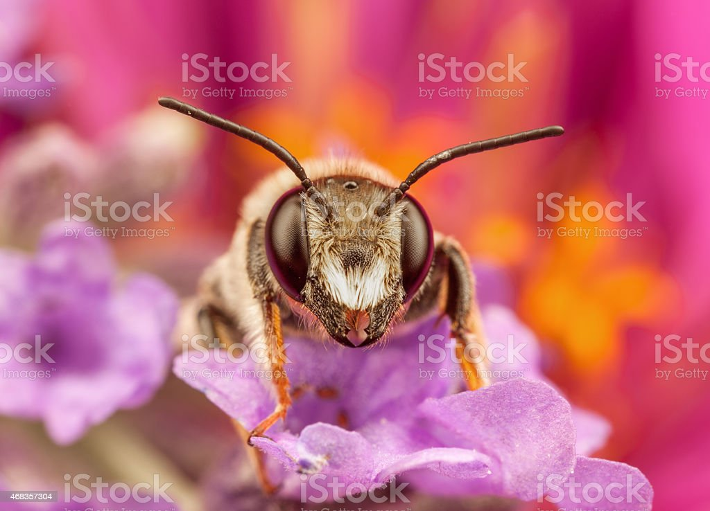Male Mining Bee - Andrena resting on flower stock photo