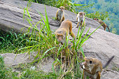 male monkey and his family in  wild