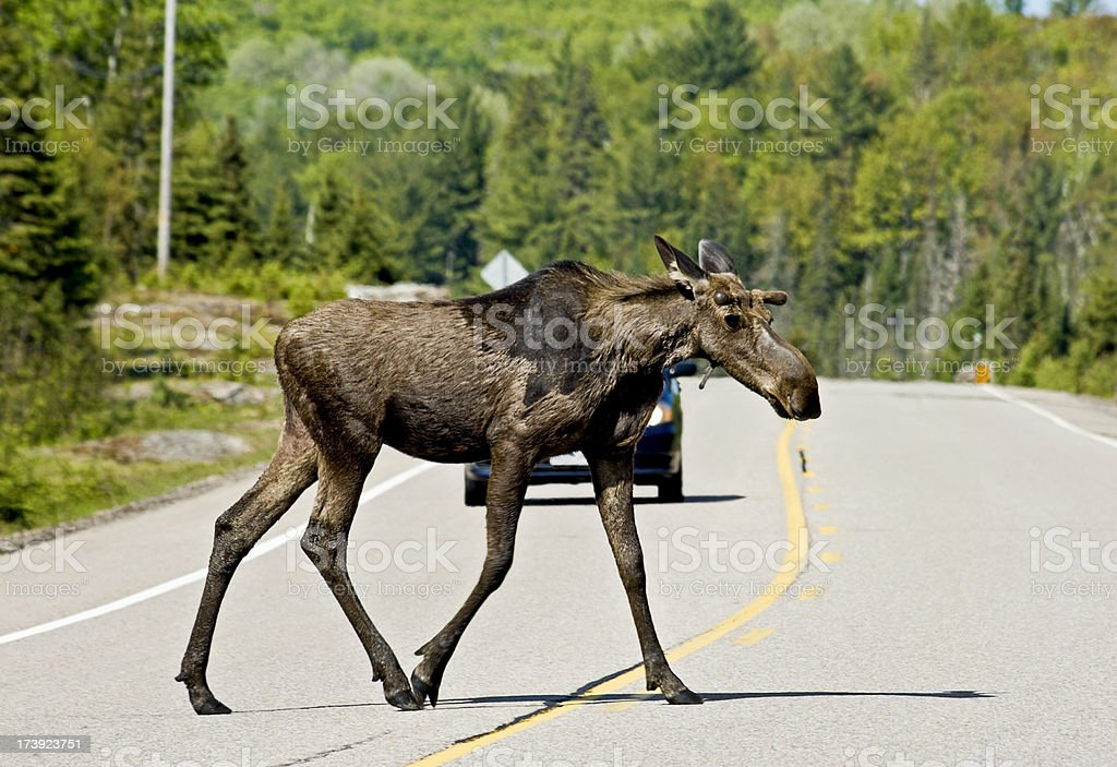 Male moose crossing road in front of car stock photo