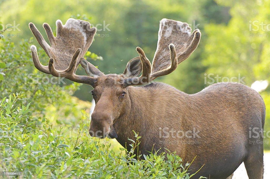 Male Moose in Velvet feeding stock photo