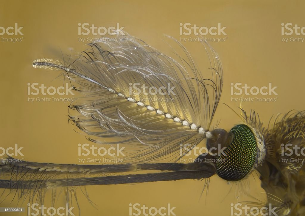 Male Mosquito royalty-free stock photo