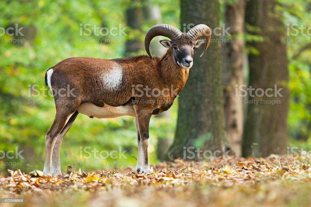 Male mouflon in the forest stock photo