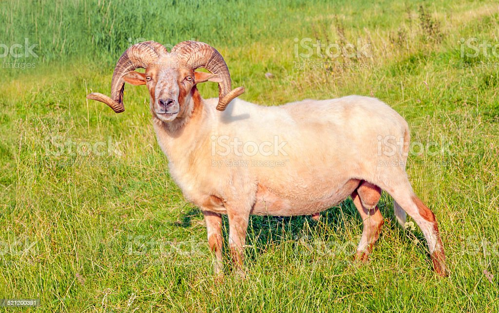 Male Mouflon sheep posing in a Dutch meadow stock photo