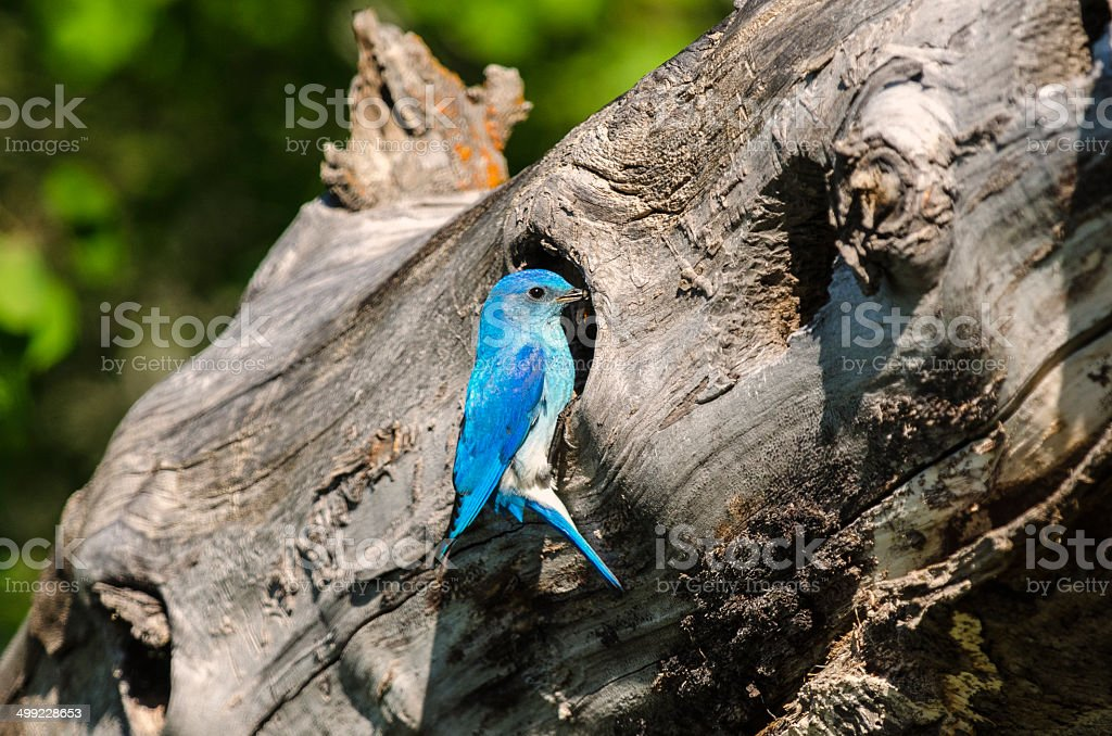 Male Mountain Bluebird at Nest with Food royalty-free stock photo