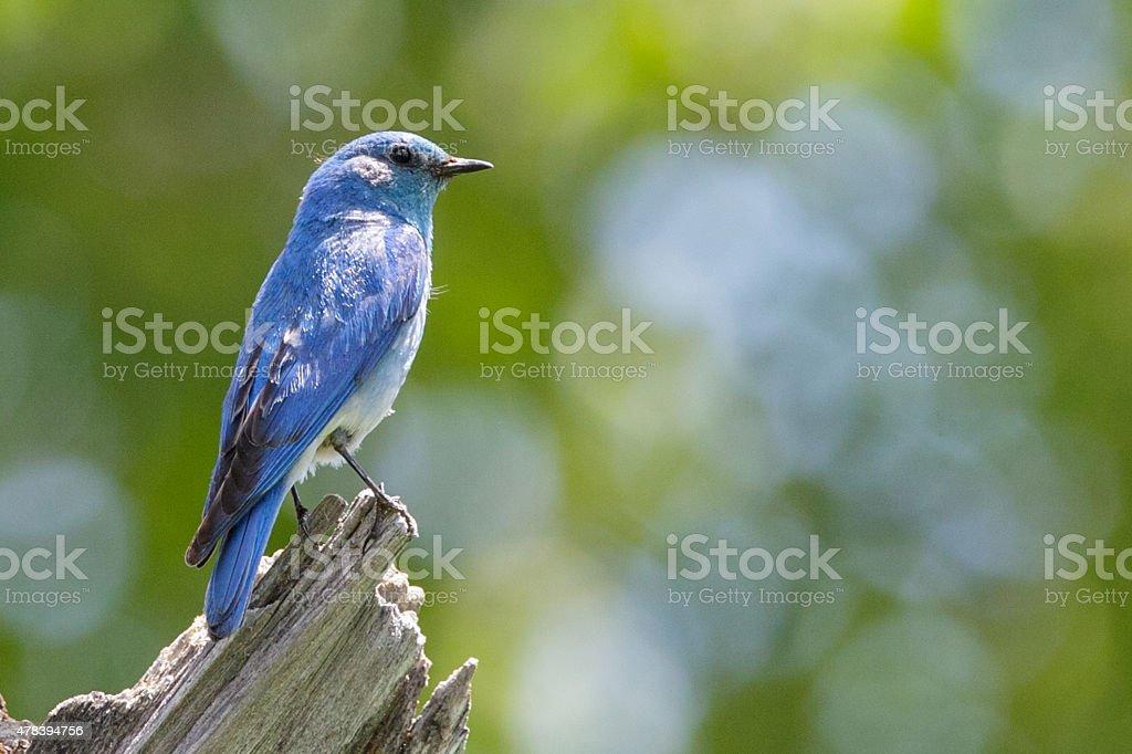 Male Mountain Bluebird perched on stump, Teton National Park, Wy stock photo