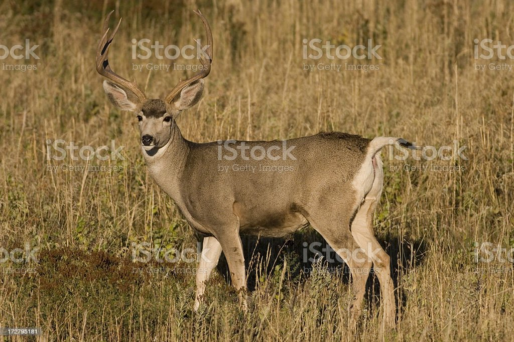 Male mule deer buck with antlers on grassy hillside royalty-free stock photo
