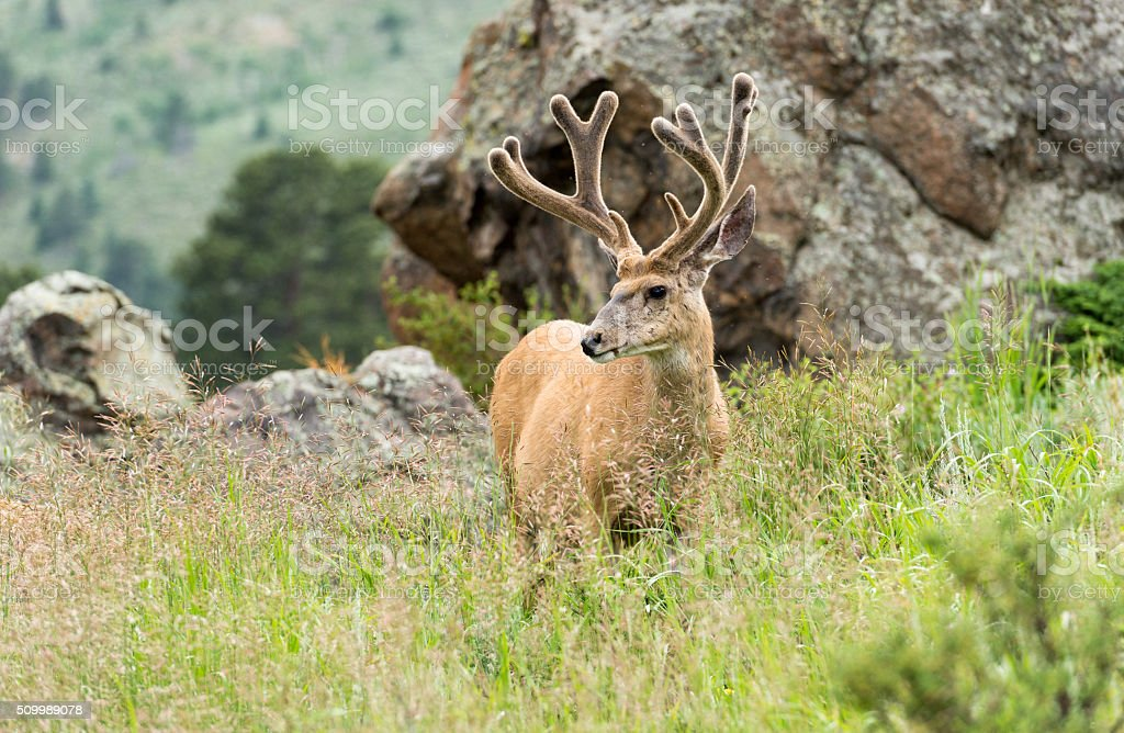Male mule deer in Rocky Mountain National Park stock photo