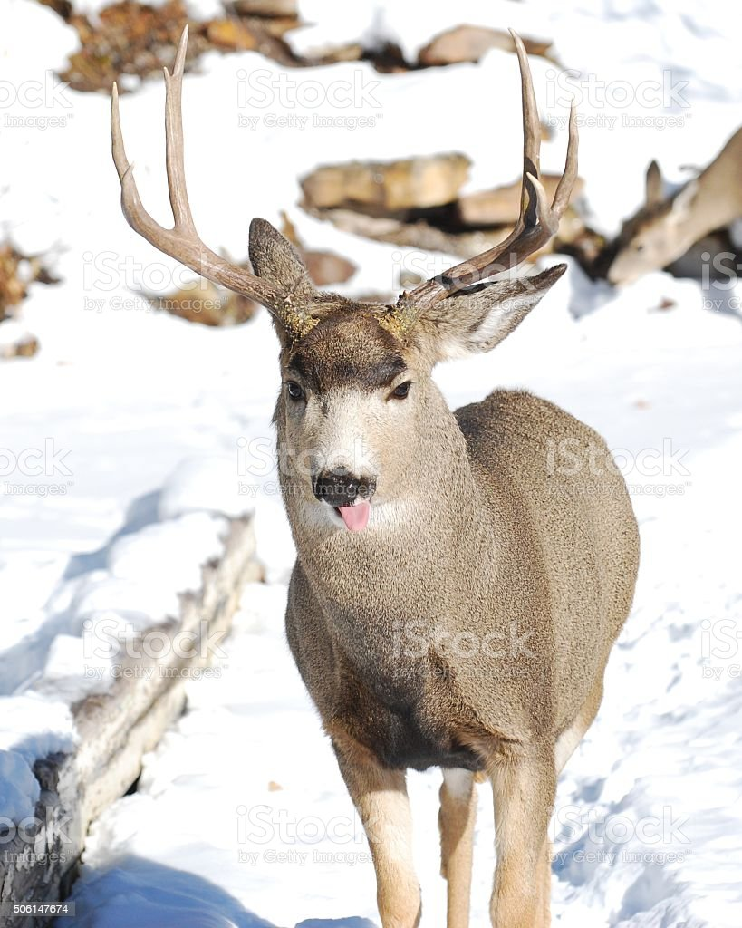 Male Mule Deer licking his nose stock photo