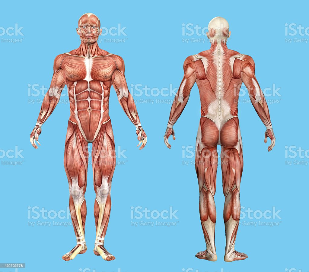 Male muscle anatomy. stock photo