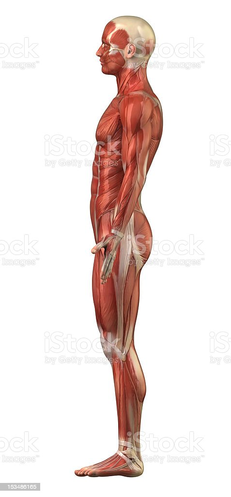 Male muscular system right lateral view isolated stock photo