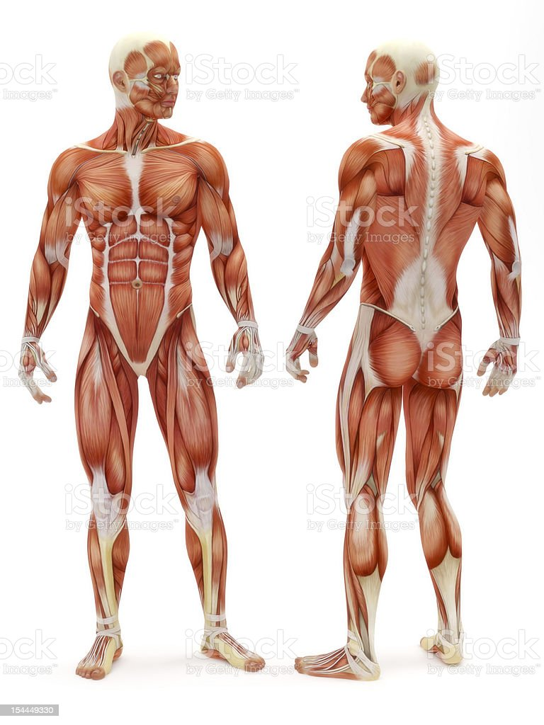 Male musculoskeletal system vector art illustration