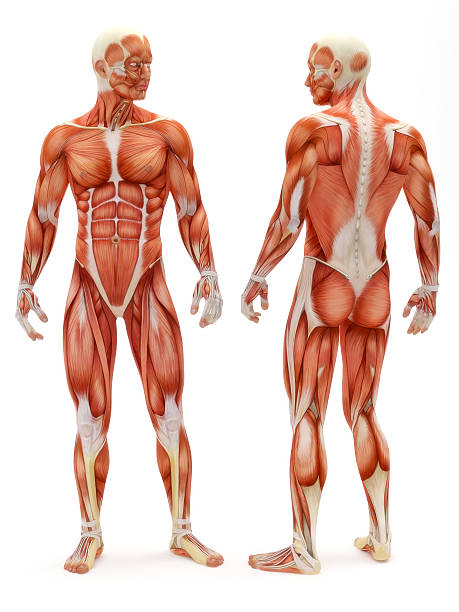 human muscle pictures, images and stock photos - istock, Muscles