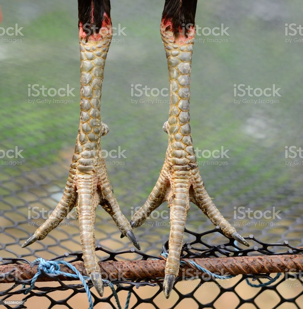 male Myanma fighting cock scale stock photo
