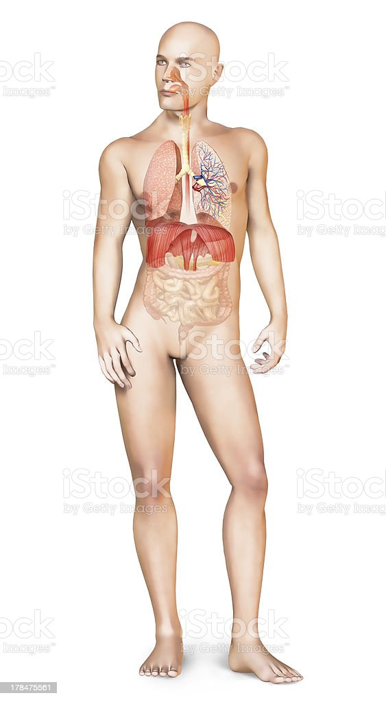 Male naked body standing, with full respiratory system superimposed. royalty-free stock photo