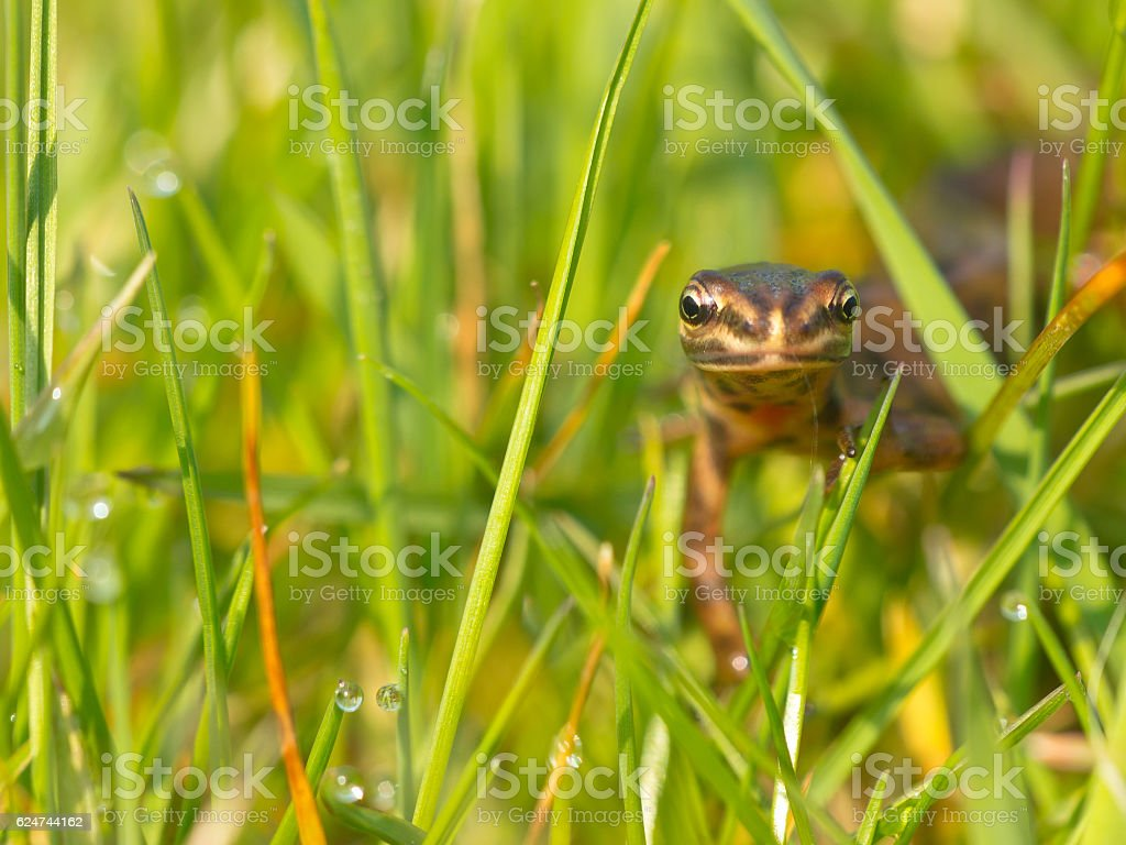 Male newt frontal stock photo