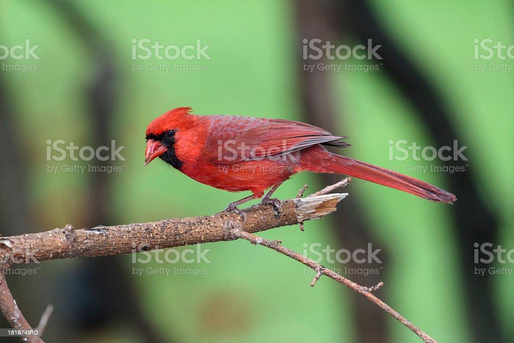 Male Northern Cardinal (Cardinalis cardinalis) Closeup royalty-free stock photo